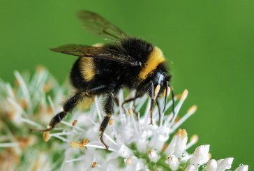 דבורים מישראל נשלחות כתגבורת ליפן