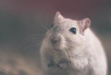 נמצא המנגנון השולט בהתמודדות עכברים עם אתגרים חברתיים