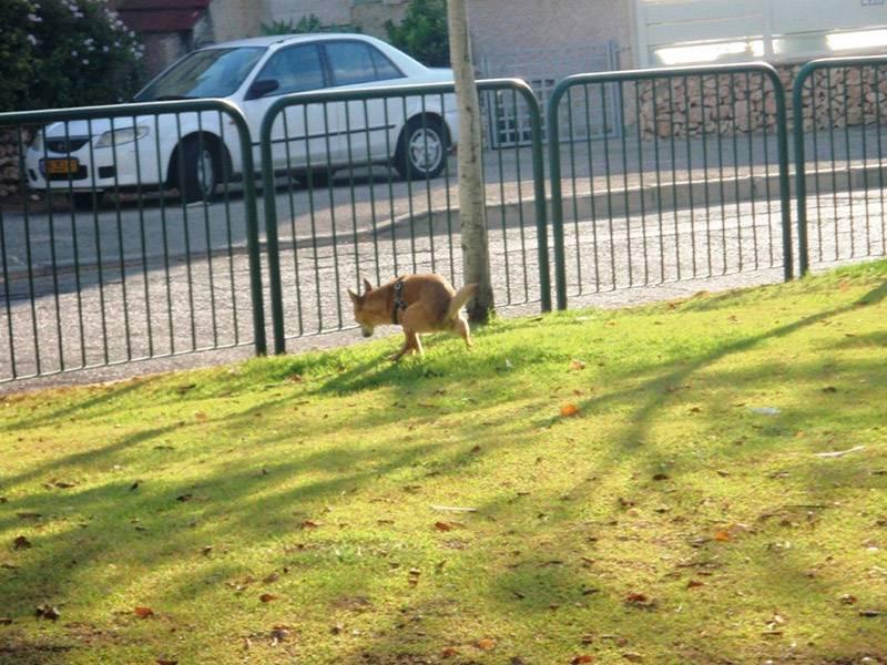 מבצע נגד צואת כלבים בחיפה